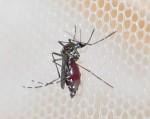 Aedes-albopictus-Roma-ISS-15-3-2011F.Severini